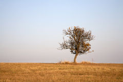 Pear tree in the meadow in autumn Royalty Free Stock Photography
