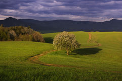 Pear tree and meadows Stock Photos