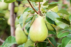 Pear on the tree Stock Photos