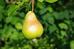 Pear on the tree Royalty Free Stock Photo