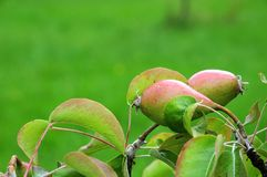 Pears of cultivar countess of Paris growing at tree. Pear tree in orchard with cultivar fruits countess of Paris growing at branch stock images
