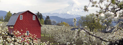 Pear Tree Orchard in Hood River Oregon. Pear Tree Orchard with Red Barn and Mount Hood in Hood River Oregon During Spring Season Panorama Royalty Free Stock Photos