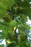 Pear Tree. Pears are a delicious treat that can be grown in a wide variety of soils. Pear trees are also easy to fit in small yard spaces. Plan to plant at least Royalty Free Stock Images