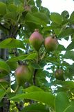 Pear Tree. Pears are a delicious treat that can be grown in a wide variety of soils. Pear trees are also easy to fit in small yard spaces. Plan to plant at least Stock Photo