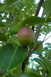 Pear Tree. Pears are a delicious treat that can be grown in a wide variety of soils. Pear trees are also easy to fit in small yard spaces. Plan to plant at least Royalty Free Stock Image