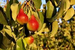 Pear tree Royalty Free Stock Photography