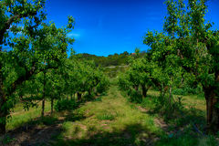 Pear tree plantation Royalty Free Stock Images