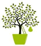 Pear tree in pot Royalty Free Stock Photo