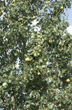 Pear Tree (Pyrus from the family Rosaceae). Naturally grown pear Tree (Pyrus from the family Rosaceae). The fruit is edible Royalty Free Stock Images