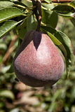Pear in the tree. Stock Image