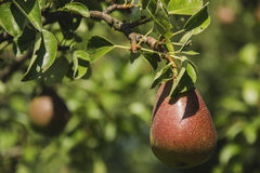 Pear tree. With ripe fruits Royalty Free Stock Photography