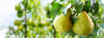 Pear Tree. Ripe Pears On A Tree Stock Photography