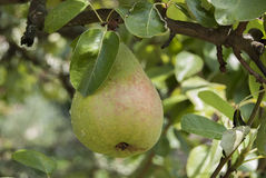 Pear on Tree Stock Image