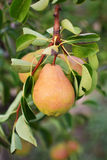 Pear tree. Ripening pears hanging from the branches Royalty Free Stock Photography