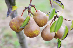Pear tree stock images