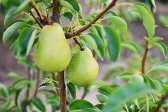 Pear tree. Ripening pears hanging from the branches Stock Photography