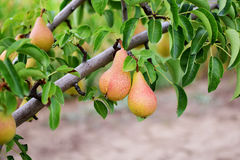 Pear tree. Ripening pears hanging from the branches Royalty Free Stock Images