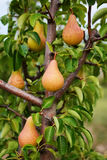 Pear tree. Ripening pears hanging from the branches Stock Image