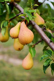 Pear tree. Ripening pears hanging from the branches Royalty Free Stock Image