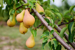 Pear tree. Ripening pears hanging from the branches Royalty Free Stock Photos