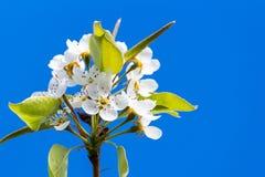 Pear tree`s flower Royalty Free Stock Photo