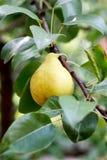 Pear on tree Stock Photo