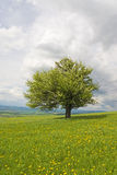 Pear tree spring Royalty Free Stock Images