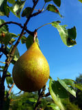 The pear. On pear-tree at the sunshine stock photos