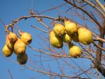 Pear on tree Royalty Free Stock Photos