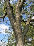 Pear tree trunk Stock Photo