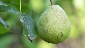 Pear on a tree stock video footage