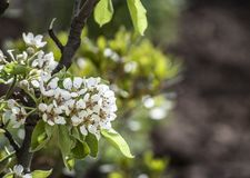 Flowering Pear Tree. Pear Tree which is flowering during spring time royalty free stock image