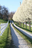 Pear Trees along driveway Royalty Free Stock Image