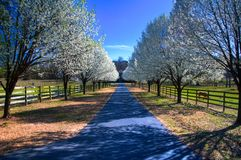 Pear Trees in Bloom. Country estate with spring pear blossoms in bloom Stock Images
