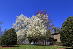 Pear Trees Blooming in Spring. Blooming Bradford Pear Trees in a Yard stock images