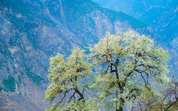 Pear Trees Flowering in Barren Valley Royalty Free Stock Images