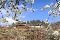 Pear Trees in full bloom near the village on Heqing, Yunnan in China Stock Photo