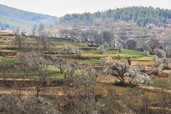 Pear Trees in full bloom near the village on Heqing, Yunnan in China Stock Images