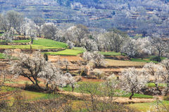 Pear Trees in full bloom near the village on Heqing, Yunnan in China Stock Photos