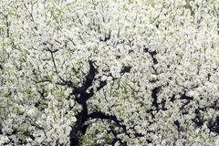 Pear trees in full blossom royalty free stock photography