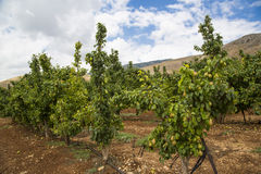 Pear trees in the Golan Heights in Israel Royalty Free Stock Photo