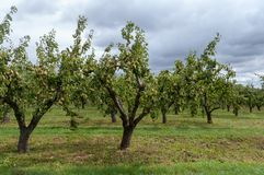 Pear orchard in Worcestershire stock photo