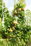 Pear trees laden with fruit in an orchard Stock Photography