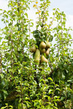 Pear trees laden with fruit in an orchard in the sun Royalty Free Stock Photo