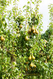 Pear trees laden with fruit in an orchard in the sun Royalty Free Stock Images