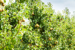 Pear trees laden with fruit in an orchard in the sun Royalty Free Stock Photography