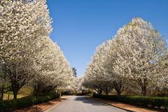 Pear Trees Lining Road Royalty Free Stock Photos