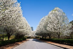 Pear Trees Lining Road Stock Photos