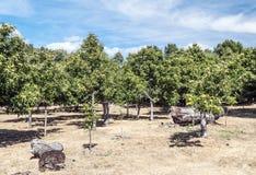 Pear trees Stock Photo