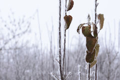 Pear twigs with leaves covered with frost. In the winter garden Stock Image